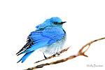 BLUEBIRD (Also see MOUNTAIN BLUEBIRD,  sialia currucoides)