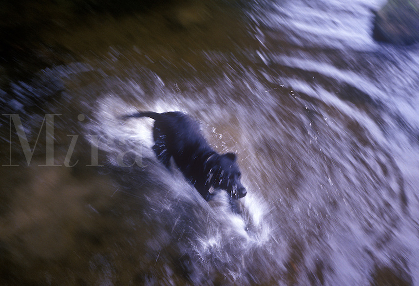 Black dog running and splashing through water..