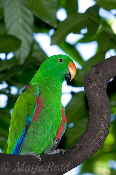 Eclectus Parrot (Eclectus roratus) male, captive, Port Douglas, Queensland, Australia,