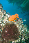 Anacapa Island, Channel Islands National Park and National Marine Sanctuary, California; Garibaldi (Hypsypops rubicundus), adult, protects its nest of eggs attached to a rock, with Giant Kelp (Macrocystis pyrifera) in the background , Copyright © Matthew Meier, matthewmeierphoto.com All Rights Reserved