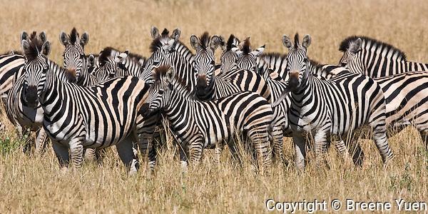 Zebras keep an eye out for those curious tourists, Chobe National Park, Botswana