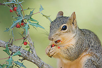 Eastern Fox Squirrel, Sciurus niger, adult eating  Agarita (Berberis trifoliolata) berries, Uvalde County, Hill Country, Texas, USA