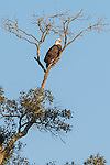 Brazoria County, Damon, Texas; an adult bald eagle sitting atop a tall tree in early morning sunlight
