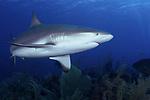 Caribbean Reef shark, Cuba Underwater, Jardines de la Reina, Protected Marine park underwater, Sharks, Carcharhinus perezii