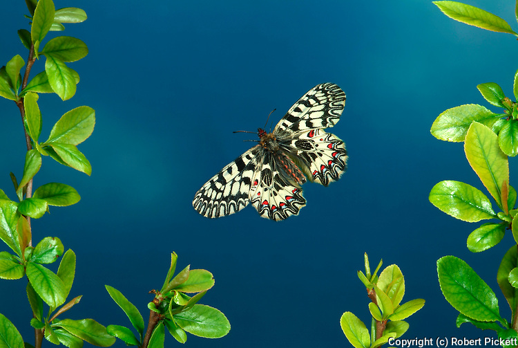 Southern Festoon, Zerynthia polyxena, in flight, flying, high speed photographic technique.Europe....