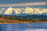 Cow moose feeds in Wonder Lake, snow covered Alaska mountain range and Mt. Brooks, autumn tundra, Denali National Park, Alaska