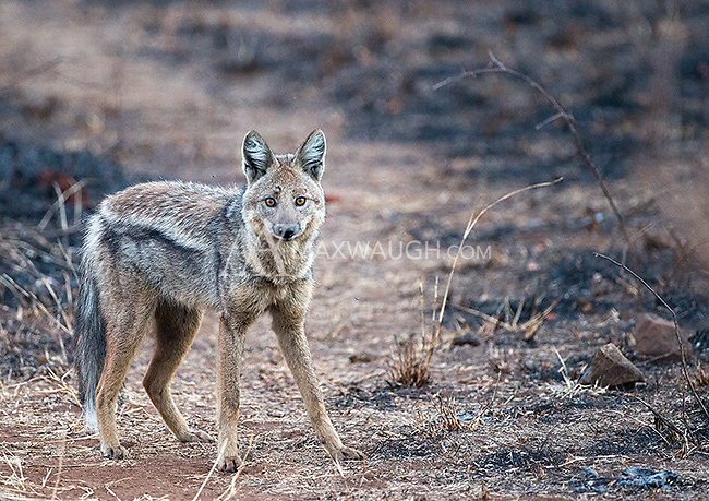 The side-striped jackal is seen less frequently than its black-backed cousin.