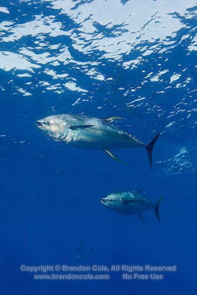 RM40277-D. Yellowfin Tuna (Thunnus albacores). Baja, Mexico, Pacific Ocean.<br /> Photo Copyright &copy; Brandon Cole. All rights reserved worldwide.  www.brandoncole.com
