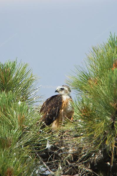 Short-tailed Hawk (Buteo brachyurus) in nest, after feeding; Arizona (Nesting Record)