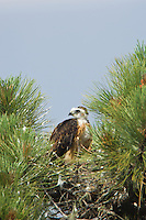 Short-tailed Hawk (Buteo brachyurus) in nest, after feeding; Arizona (Nesting Record)