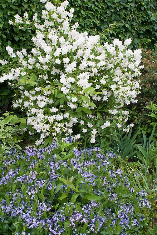 Philadelphus coronarius Manteau d' Hermine  shrub in white spring fragrant bloom with Amsonia Blue Ice in blue flowers