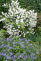 Philadelphus coronarius Manteau d' Hermine  shrub in white spring fragrant bloom with Amsonia Blue Ice in blue flowers