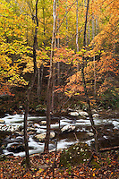 Autumn forest along Middle Prong of Little River, Tremont