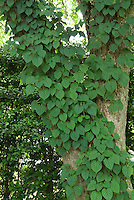 Schizophragma hydrangeoides climbing a tree