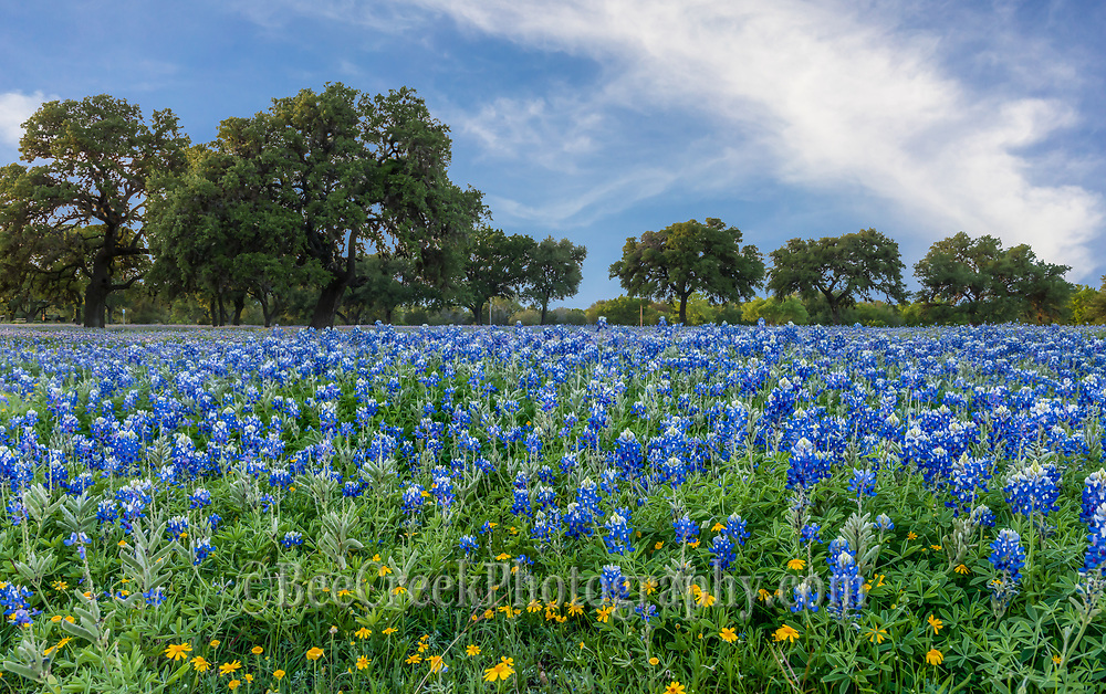 This was another view of this hugh bluebonnet field in the Texas Hill Country. This wildflower field has mostly blueblonnets but quite a few yellow perky sues and pops of red from indian paintbrush through out the area.