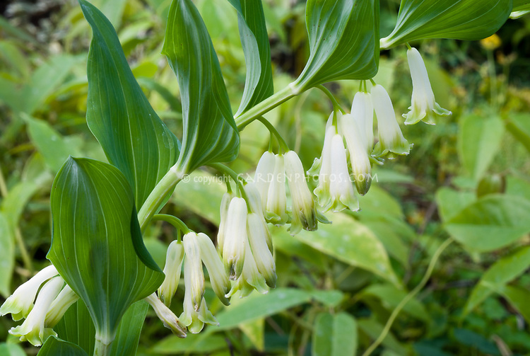 Polygonatum x hybridum 'Valerie's Song', Solomon's Seal hybrid in flower in spring
