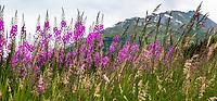 Summer wildflowers and grasses panorama at Turnagain Pass in Chugash National Forest on Kenai Peninsula, Alaska