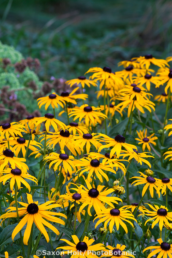 Rudbeckia hirta - Black-eyed Susan, native perennial wildflower in Minnesota garden