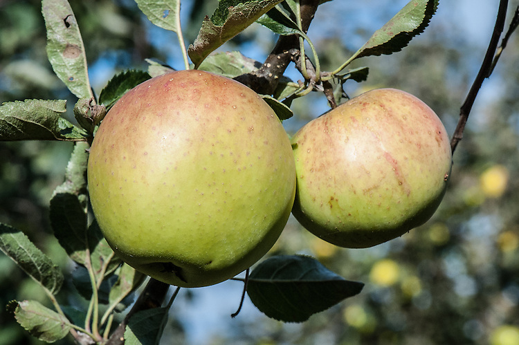 Apple 'Harry Pring', late September. An English dessert apple raised by Harry Pring, probably in Surrey at the beginning of the 20th century.