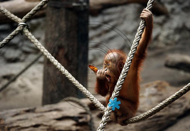 Pongoland Zoo Leipzig - MPI - im Bild: Oran-Utan Baby Suaq beim Fressen.  Foto: Norman Rembarz ..