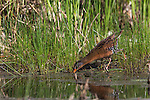 Virginia rail sticking bill in the mud looking for food
