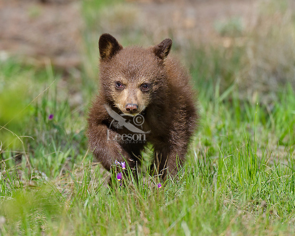"Wild Black Bear (Ursus americanus) cub (cinnamon color phase) .  Western U.S., spring. (This is what is known as ""coys""--cubs of the year.)"