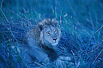 Botswana, Okavango Delta, Moremi Game Reserve,  male lion (Panthera leo) lying in grass at dusk