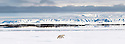 Polar Bear (Ursus maritimus) walking on ice flow. Woodfjorden, northern Spitsbergen, Svalbard, Arctic Norway. (digitally stitched image)