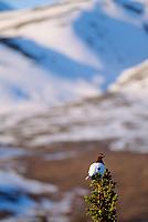 Male Willow Ptarmigan, springtime, Denali National Park, Alaska