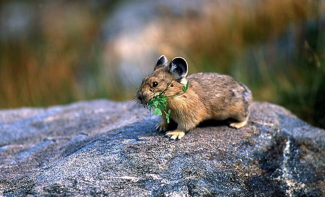 Pika gathering winter food supply, Colorado