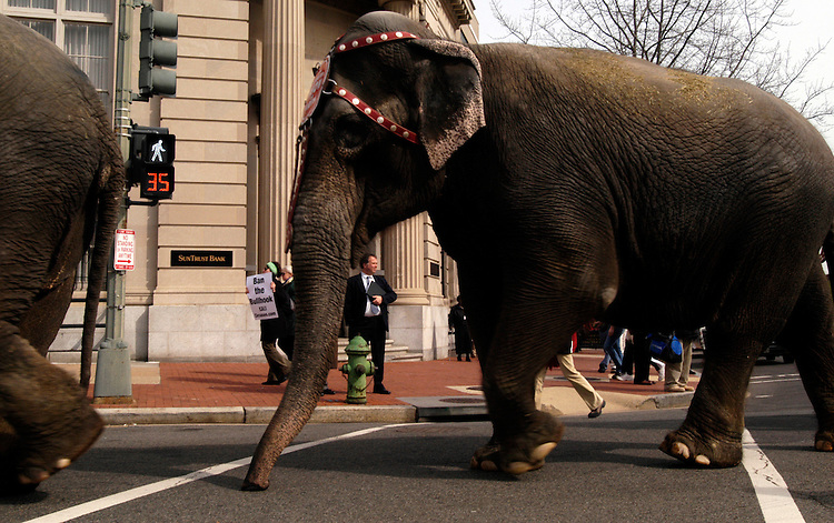 Elephants parade through Capitol HIll after arrving in town for the Ringling Bros. & Barnum and Bailey Circus. They will be performing March 21-April 16 at the Verizon Center.