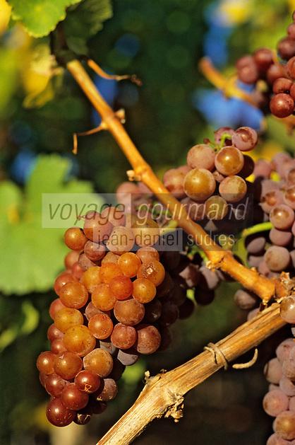 Europe/France/Aquitaine/24/Dordogne/Vallée de la Dordogne/Route des Vins de Bergerac/Vignoble de Bergerac: Grappe de raisin viticole