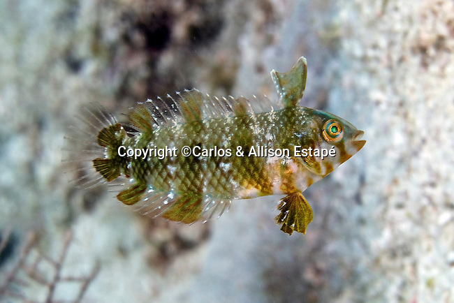 Xyrichtys splendens, Green razorfish, juvenile, Florida Keys