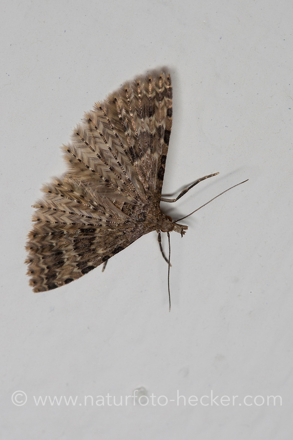 Geißblattgeistchen, Überwinterung im Haus, Geißblatt-Geistchen, Geissblattgeistchen, Geissblatt-Geistchen, Alucita hexadactyla, Alucita polydactyla, Phalaena hexadactyla, Twenty-plume Moth, twenty plume moth, Twenty-plumed Moth, Many-plumed moth, hibernation, overwinter survival in the house, Geistchen, Alucitidae