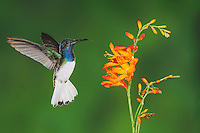White-necked Jacobin (Florisuga mellivora), male feeding on flower,Mindo, Ecuador, Andes, South America