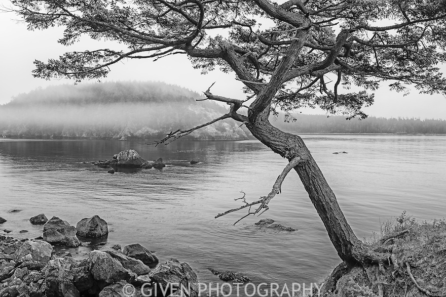 Douglas fir tree on Bowman Bay in early morning mist, Washington