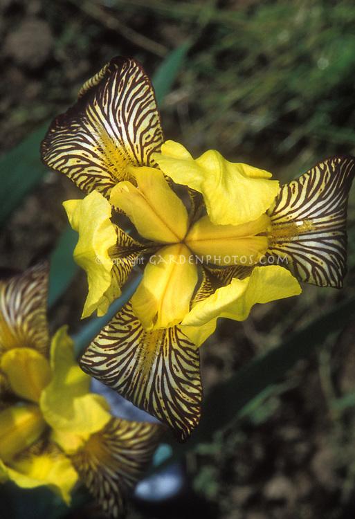 Iris variegata