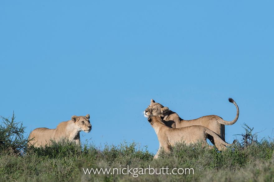 Female lions (Panthera leo) and older cub greeting. Woodland on the border of Serengeti / Ngorongoro Conservation Area (NCA) near Ndutu, Tanzania.