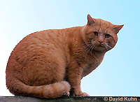 1218-0901  Domesticate House Cat, Red Tabby  © David Kuhn/Dwight Kuhn Photography