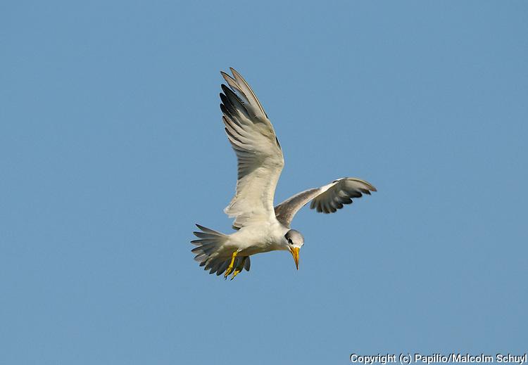 Large-billed Tern (Phaetusa simplex) in flight hovering, Pantanal, Brazil.
