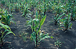 Maize Crops, Ecuador, agricultural, food, growing,