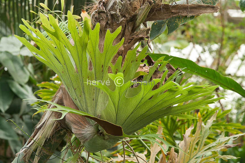 Platycerium sp., fougère épiphyte // staghorn or elkhorn ferns, Platycerium sp.