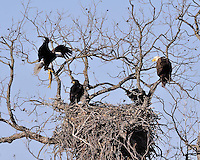 Adult bald eagle brings a fish to the two eaglets in the nest near Llano, TX as the other adult eagle watches.