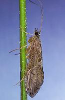 Köcherfliege, Rhyacophila spec.,