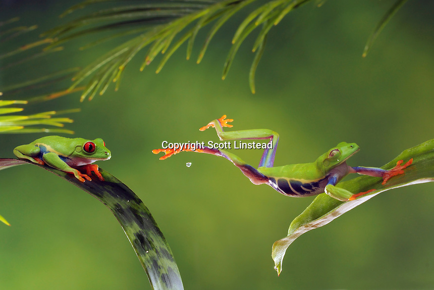 A red-eyed tree frog jumps from one leaf to another in the rainforest.