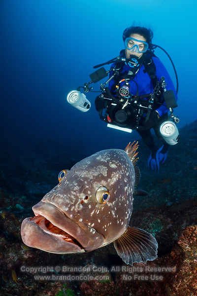WQ0074-D. Dusky Grouper (Epinephelus marginatus), a large (almost 3 feet long) and curious reef resident, provides a memorable encounter for visiting scuba divers. Azores, Portugal, Atlantic Ocean.<br /> Photo Copyright © Brandon Cole. All rights reserved worldwide.  www.brandoncole.com