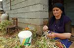 Lin-Pogradec-Albania - August 02, 2004---A woman from the village of Lin sorting her harvested beans at her home garden; region/village of project implementation by GTZ-Wiram-Albania (German Technical Cooperation, Deutsche Gesellschaft fuer Technische Zusammenarbeit (GTZ) GmbH); agriculture-people-portrait---Photo: © HorstWagner.eu
