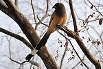 Indian Magpie, Ranthambhore National Park; Rajasthan