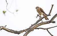 Kestrels and falcons are adept at hunting small birds. Here's a kestrel with the remains of a meal.