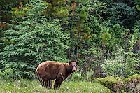 Cinnamon phase Black Bear (Ursus americanus) feeding on grasses and dandelions.  Northern Rockies.  June.